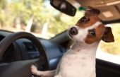 picture of road trip  - Jack Russell Terrier Dog Enjoying a Car Ride - JPG