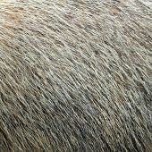 stock photo of marmot  - close up of real marmot textured fur - JPG