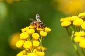 stock photo of tansy  - Yellow tansy flowers and bee - JPG