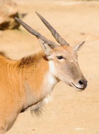 stock photo of eland  - young taurotragus derbianus or common Eland - JPG
