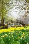 image of daffodils  - A field of daffodils in front of a romantic bridge over a river - JPG
