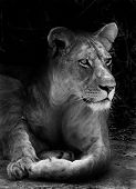 stock photo of african lion  - Wild African lion resting in the shade - JPG
