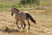 foto of buckskin  - Buckskin horse galloping in the summer meadow - JPG