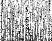 stock photo of birching  - Trunks of birch trees black and white - JPG