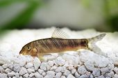 stock photo of loach  - Zebra loach catfish Botia striata swimming in water - JPG