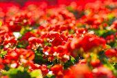 stock photo of begonias  - Beautiful background of flowers big begonias  - JPG