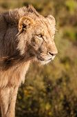 stock photo of lioness  - Close up of lioness head in South Africa - JPG