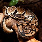 picture of terrarium  - Royal python in terrarium - JPG