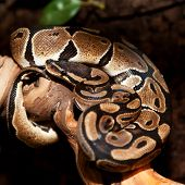 stock photo of terrarium  - Royal python in terrarium - JPG