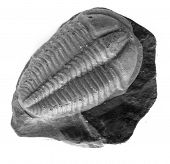 picture of paleozoic  - nice trilobite isolated on the white background - JPG