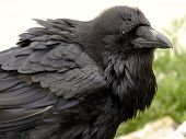 stock photo of raven  - Closeup of old raven in Rocky Mountains - JPG