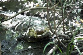 pic of crocodilian  - American crocodile  - JPG