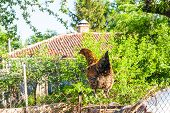 picture of bird fence  - Hen on a fence in a farmyard - JPG