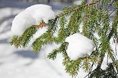 picture of backwoods  - Pine branch covered with fresh snow on outdoors