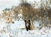 image of boar  - Wild boar standing on snow and looking at camera - JPG