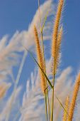 image of pampas grass  - Pampas Grass Flowers and blue sky image - JPG