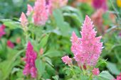 picture of celosia  - beautiful plumped celosia flower in the garden - JPG