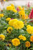 picture of marigold  - Marigolds  - JPG