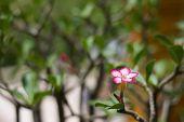 foto of desert-rose  - Adenium obesum  - JPG
