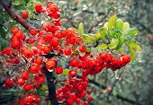 pic of freezing  - Branch of a bush with bright berries and green leaves after freezing rain