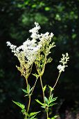 image of meadowsweet  - Colorful and crisp image of meadowsweet  - JPG