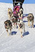image of sled dog  - Details of a team of huskies in full action heading towards the camera - JPG