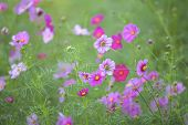 pic of cosmos  - Cosmos (Cosmos bipinnatus) is an annual and perennial plant in the family Asteraceae native to scrub and meadow areas in Americas. They are herbaceous perennial plants.