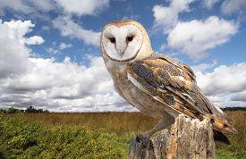 foto of owls  - A barn owl perched on a dead tree stump in a meadow - JPG