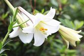 pic of lily  - Taiwan Lily and bud - JPG