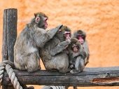 stock photo of macaque  - Family of the Japanese Macaque clean wool - JPG