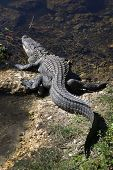 stock photo of alligator  - A large alligator enters the waterway running along side highway 41 in the Big Cypress National Preserve near the Oasis Visitor Center in south Florida - JPG