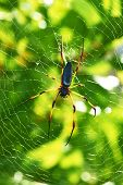 picture of orbs  - Giant wood spider  - JPG