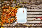 pic of creeper  - Autumnal leaves of creeper plant on a wall with window - JPG