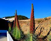 stock photo of canary  - Tajinaste flowers in Vilaflor - JPG