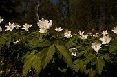 stock photo of windflowers  - some wood anemones or anemone nemorosa in latin - JPG
