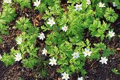 picture of windflowers  - Anemone nemorosa white flowers in spring forest - JPG