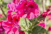 foto of geranium  - Geranium flowers - JPG