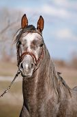 foto of stallion  - Portrait of a sports stallion in a bridle - JPG