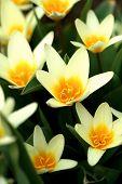 picture of daffodils  - Yellow daffodils - JPG