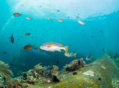pic of wrecking  - Yellowbanded Sweetlips on the Second World War USA Liberty Wreck in Tulamben Bali Indonesia - JPG