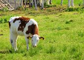 stock photo of calves  - The calf on a summer pasture - JPG