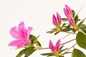 picture of azalea  - Close up of magenta pink azalea flowers and buds with leaves and white background - JPG