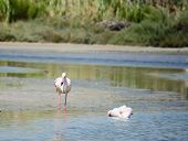 picture of pink flamingos  - pink flamingo standing in a pond - JPG