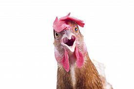 stock photo of roosters  - close up portrait full body of brown female eggs hen standing show beautiful plumagefeather isolated white background use for livestock and farm animals theme - JPG