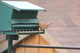 pic of cardinal-bird  - Northern Cardinal female  - JPG