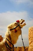 picture of euphrat  - laughing camel in ancient palmyra in syria - JPG