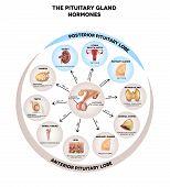 Постер, плакат: Pituitary Gland Hormones Round Diagram