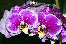 picture of epiphyte  - A close up view of Phalaenopsis orchid flowers - JPG