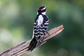 stock photo of woodpecker  - A male hairy woodpecker  - JPG