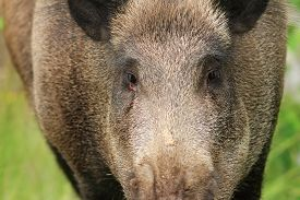picture of boar  - wild boar portrait while looking at the camera  - JPG